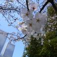 オフィス街の桜 02