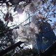 オフィス街の桜 03