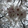 近所の神社の桜